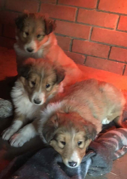 Lassie Collie puppies
