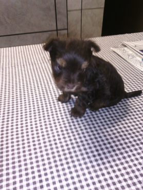 Female chocolate yorkshire terrier