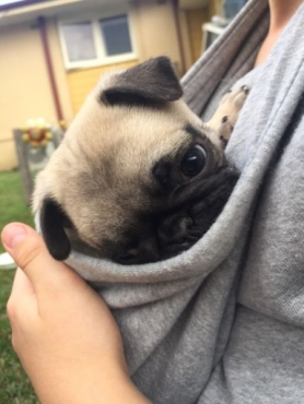 Pug Puppies - Ready To Go