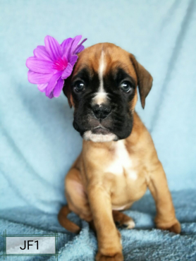 Registered Boxer Puppies