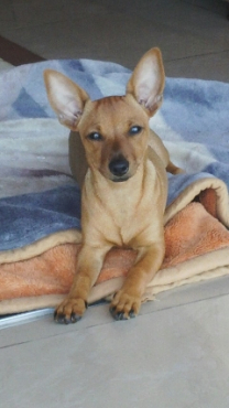 miniature Doberman × Chihuahua
