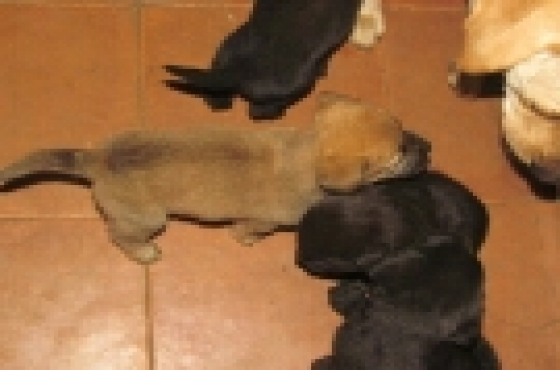 Beautiful Puppies for sale
