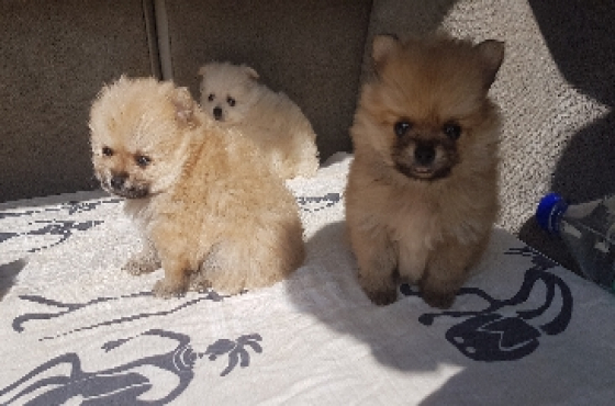 Toypom mini puppies