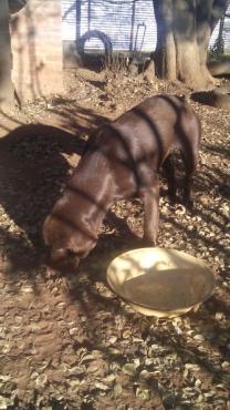 Chocolate colour Labrador Retriever