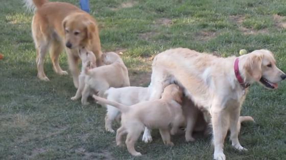 Stunning Golden Retriever puppies for sale