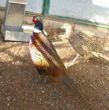 Pheasants & Waterfowls