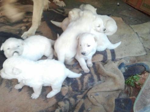 German Shepard Puppies 8wks