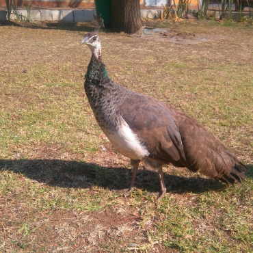 Mature Peahen for sale