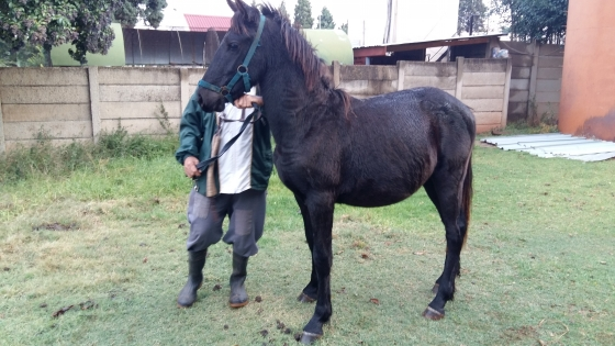SP Friesian colt for sale