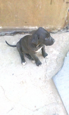 10 Great Dane puppies for sale