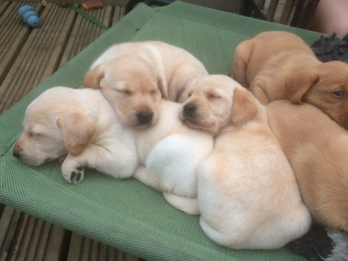Red And Yellow Labrador Puppies For Sale