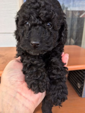Toy Poodle Puppies(8 weeks)old.