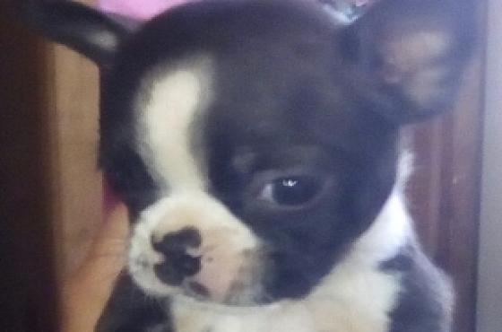 Boston terreir pups