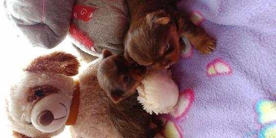 2 x female Chocolate Yorkie Puppies
