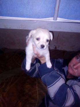 yorkie/toypom puppies