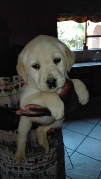 GORGEOUS PURE BRED WHITE LABRADOR PUPPIES