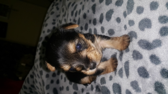 3 Week old Female Yorkies