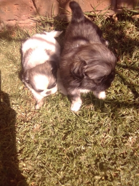 5 Week Old Pekingese Puppies