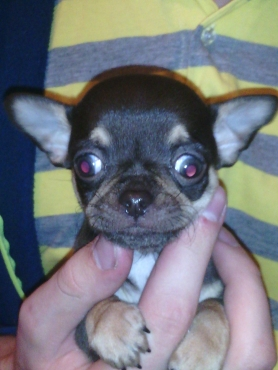 Male Chihuahua Puppies For Sale