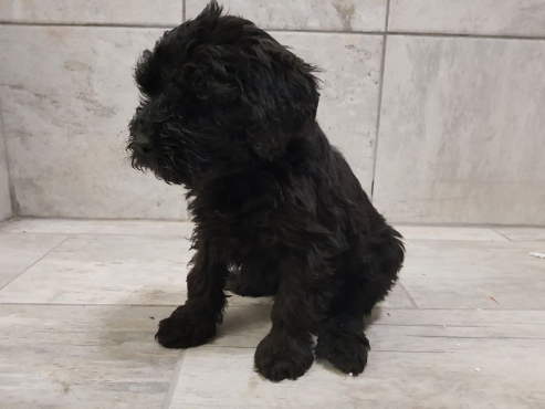 5 x Bouvier des Flandres puppies for sale