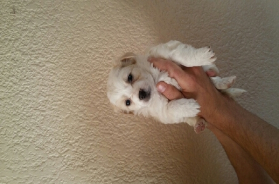 Maltese Cross Jack Russel Puppies For Sale