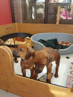 Rhodesian Ridgeback Puppies Born 07/04/2017