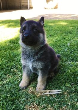 Pedigree German Shepherd puppies for sale.