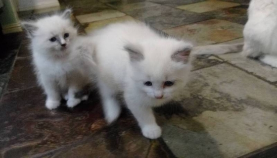 Ragdoll Kittens 8 weeks old