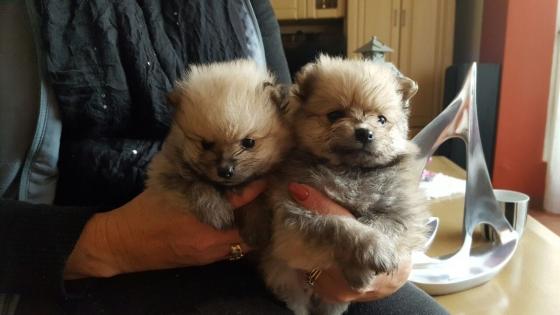 Toy pom puppies.(Miniature)