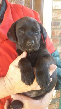 Labrador Puppies URGENT