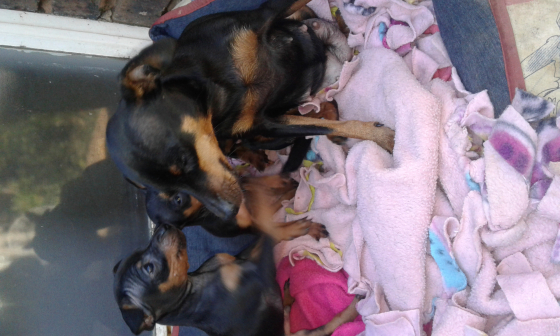 doberman pinch puppies