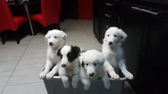 Skaap Hondjies / Border Collie puppies