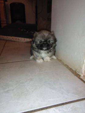 Pikenggese puppy
