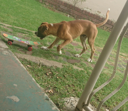 7 month old Boxer male for sale