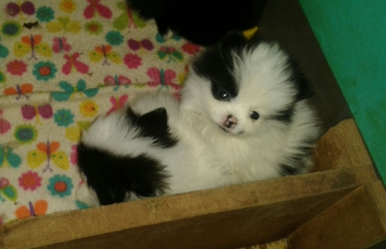 Cuddle Snuggles Top Quality Pomeranians/Toypoms for sale