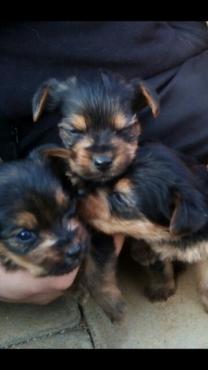Yorki mini pups