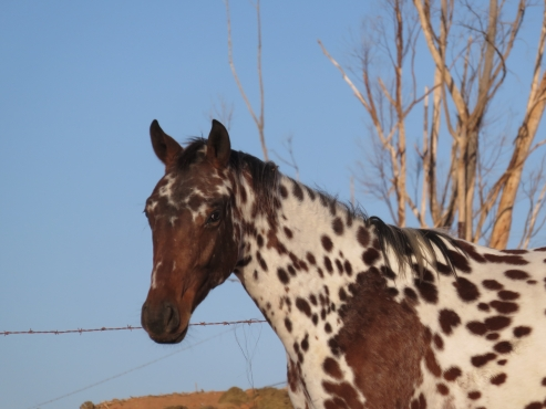 Amazing Registered Appaloosa Colt For Sale