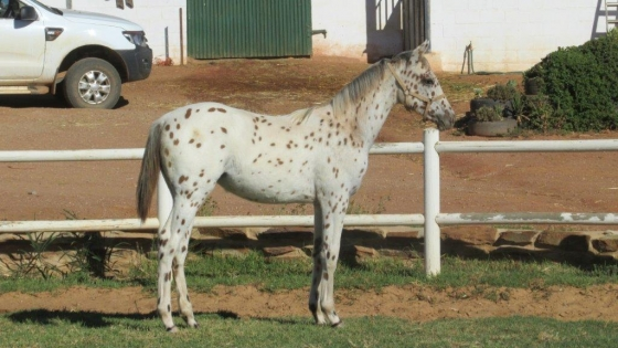Registered SP Appaloosa Filly For Sale