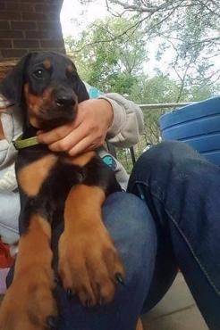Purebred Doberman Puppies
