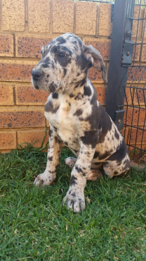 Pure Bred Great Dane Puppies, German Bloodline, for sale