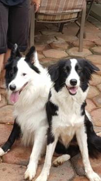 Border collie puppies / Skaap hondjies