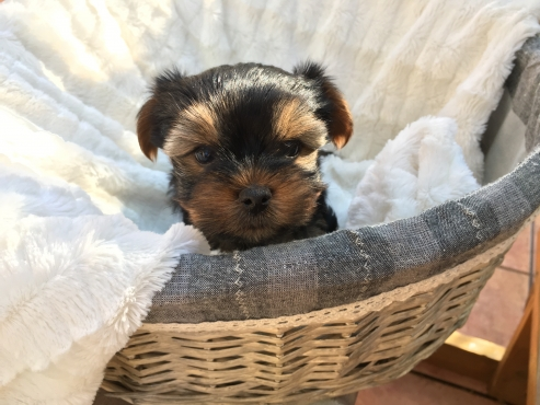 8 weeks Yorkie Puppies ready for loving home