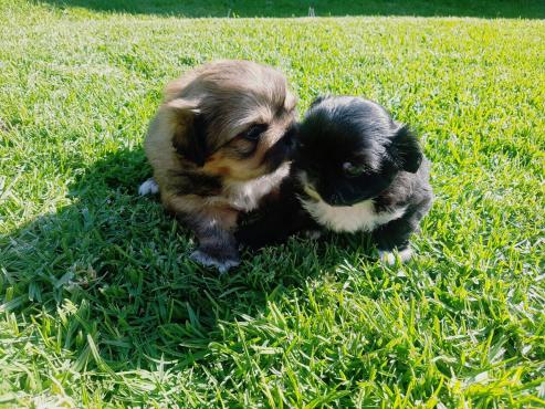PekingesePups