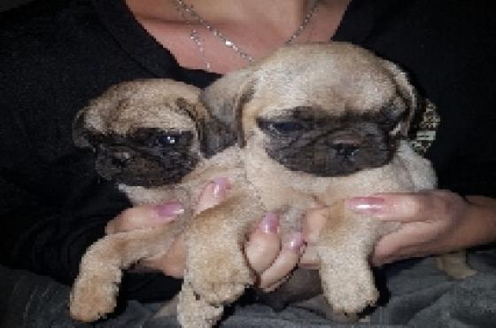 pug cream pups