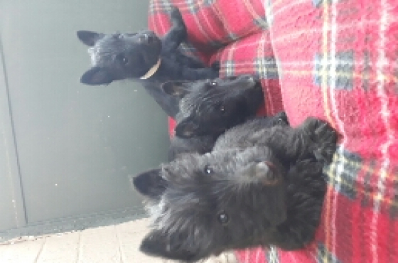 Scottish Terriers 4 Sale