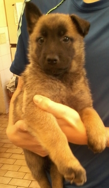 Belgian Shepherd x German Shepherd puppies for sale