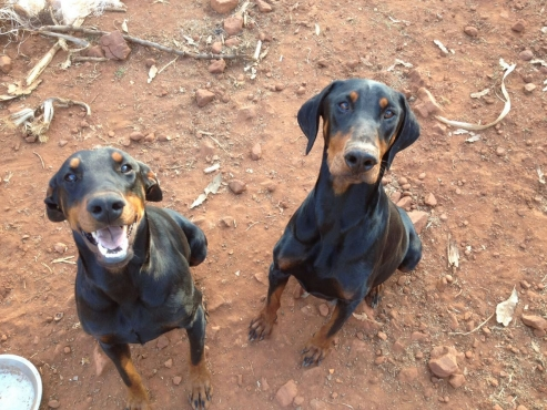 Dobermann puppies (Large)