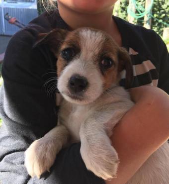 Jack Russel X Foxterrier puppies