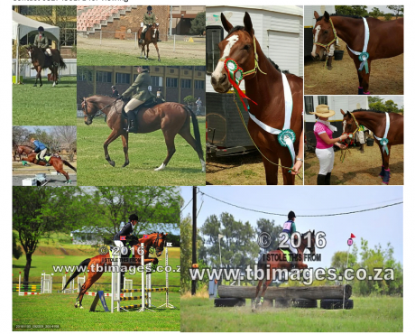 TB mare for sale. Showing/dressage/jumping/eventing