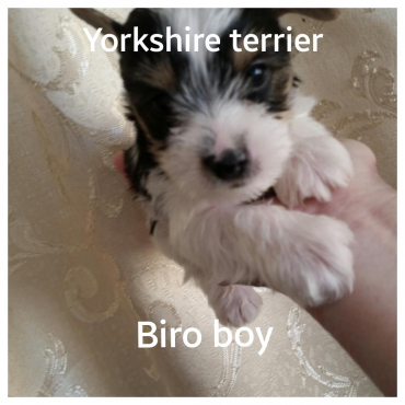Yorkshire terrier pocket pups